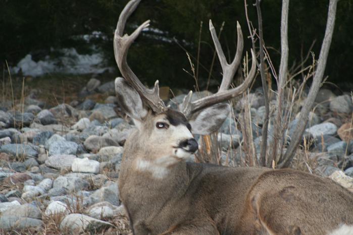 Deer close up 11-27-18